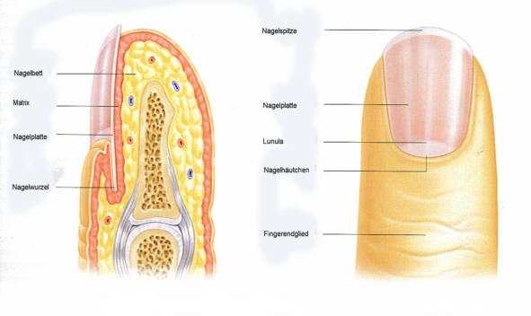 Als gribok der Nägel auf dem Bein zu heilen